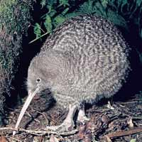 Kiwi - (great spotted)