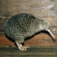 Kiwi - (little spotted)