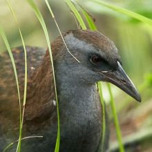 Weka - North Island