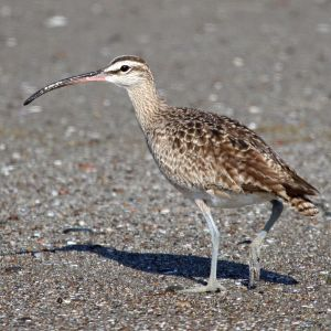 Asiatic whimbrel