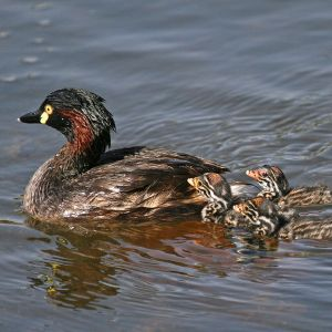 Australasian little grebe