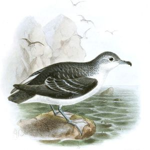 Subantarctic little shearwater