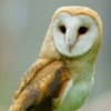 Photo for Barn owl