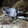 Photo for Grey-backed storm petrel