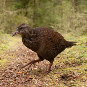 North Island weka