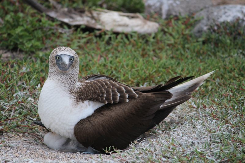Full blue footed booby and chick