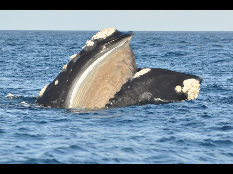 Southern Right Whales | A Gallery from Nine To Noon ...