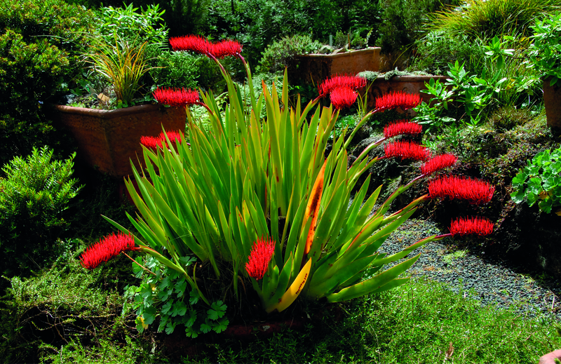 Nz Grasses For Landscaping Coastal gardens poor knights lily workwithnaturefo