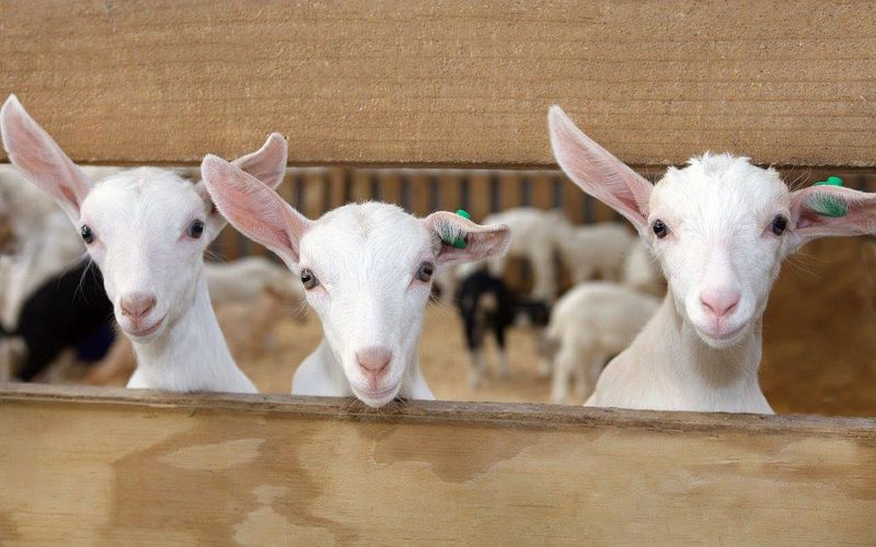 Full dairy goat co operative goatkids  crop