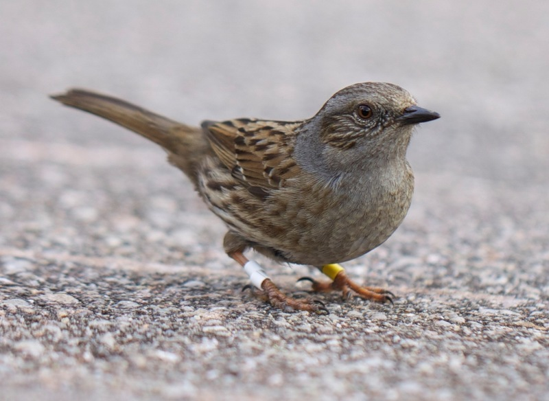 Full dunnock photo carlos esteban lara