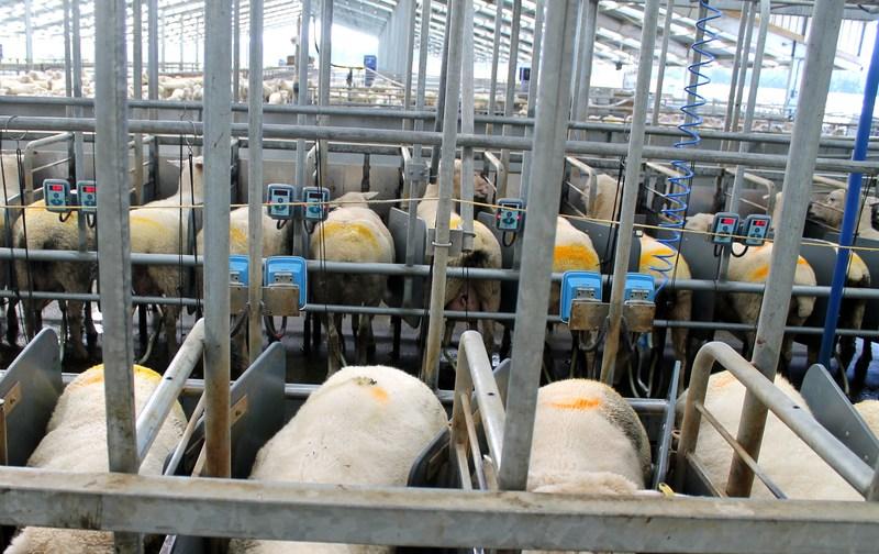 Ewe Milk Sheep | RNZ