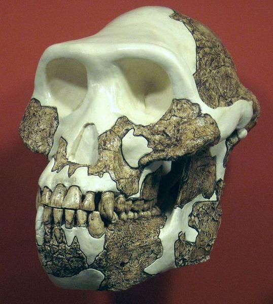 Australopithecus Afarensis Fossils