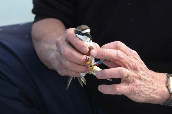 Full banding banded dotterels %28photo supplied%29