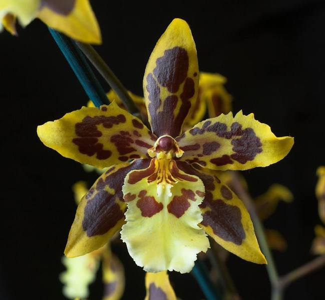 Exotic Orchids A Gallery From The Weekend Rnz National