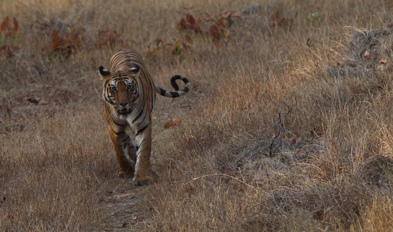 Full female tiger siting  bandhavgarh