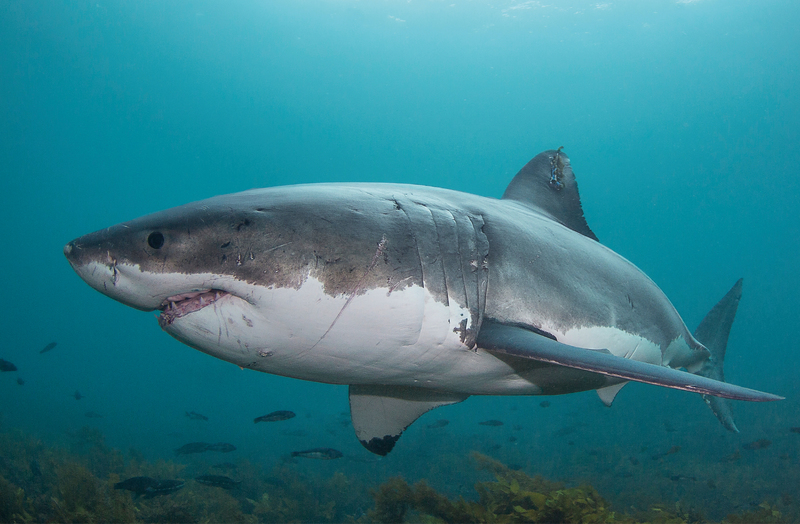 Great White Shark Reproduction | Alison Ballance Tracking Great Whites