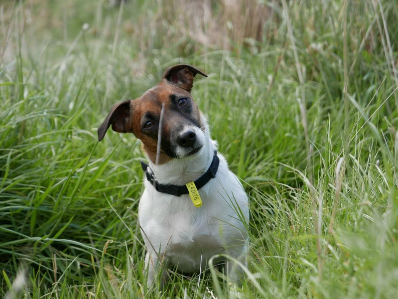 Full tess a 3 year old jack russell