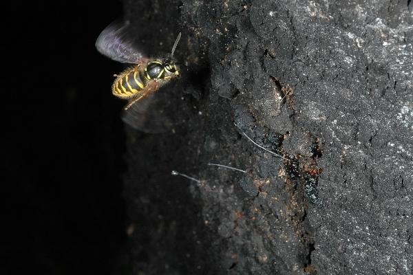 The Vulgar Wasp