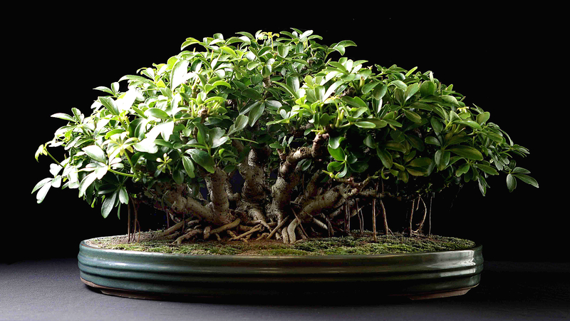 Lemon Tree Bonsai Pruning Bonsai Tree