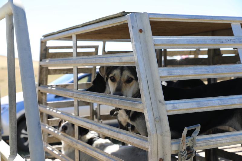 full_Dogs_in_farm_truck.JPG?1551926112