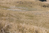 thumb_Sheep_in_North_Canterbury_paddock_%28edit%29.jpg?1551926118