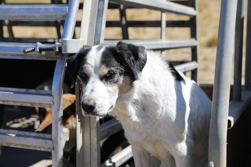 full_Old_farm_dog.JPG?1551926119