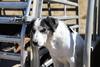 thumb_Old_farm_dog.JPG?1551926119
