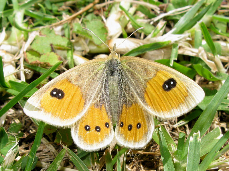 Full female tussock ringlet  credit j%c3%a9r%c3%b4me albre creative commonsimage  cc by 2.0