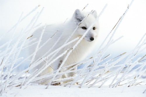 Full paul nicklen gallery   arctic fox