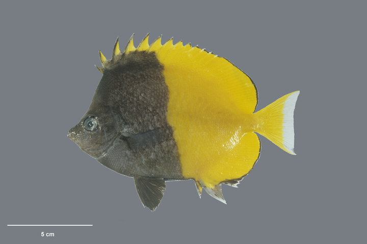 Smith's butterflyfish (Chaetodon smithi - Randall, 1975, collected 15 May 1994, Ducie Island, Pitcairn Group, Pitcairn)