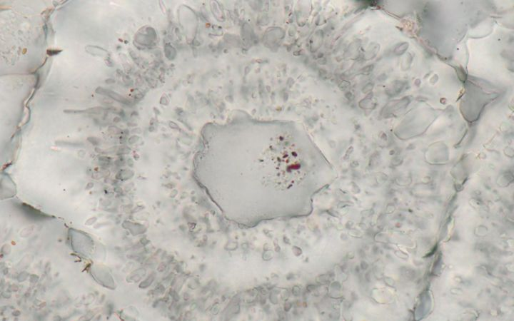 Microscopic iron-carbonate (white) rosette with concentric layers of quartz inclusions (grey) and a core of a single quartz crystal with tiny (nanoscopic) inclusions of red hematite.