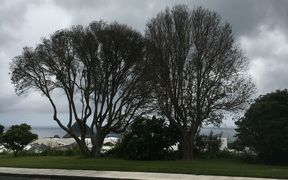 Pōhutukawa  trees in New Plymouth
