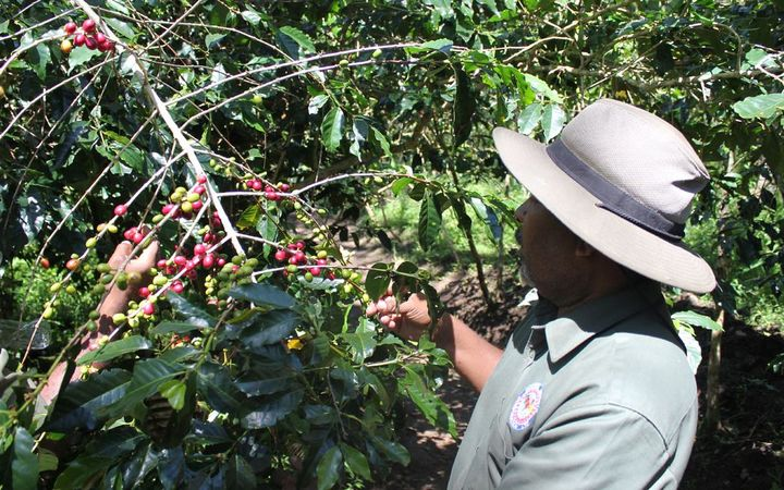 CIC Extension Manager Matei Labun inspecting a coffee tree in a hot spot area where the pest was identified in Banz, Jiwaka Province.