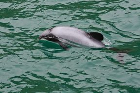 A Hector's dolphin in New Zealand waters.