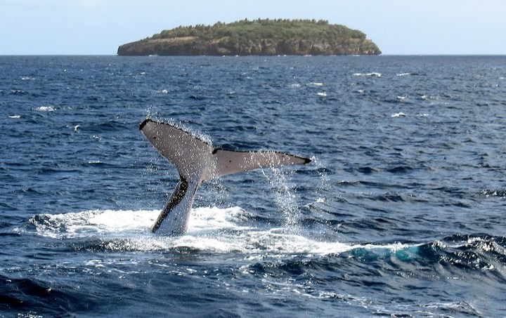Tonga is one of the few countries in the world where it is legal for people to swim with whales, although some conservationists are calling for an end to commercial swimming with whales operations.