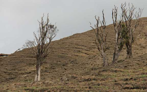 Dead Cabbage trees in the Rangitikei Hill Country, downstream from River Valley Lodge.