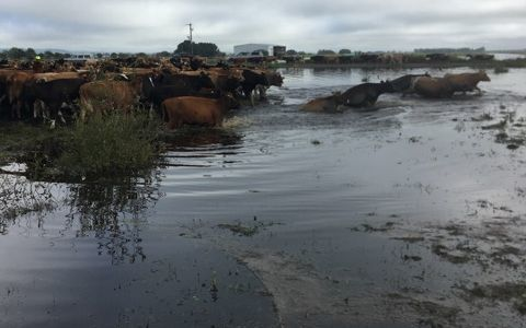 Cows stranded in flooded paddocks in Hauraki Plains had to swim to safety.