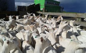 Part of Stuart Clarke's goat herd, ready for evacuation from flooding in the Waikato.