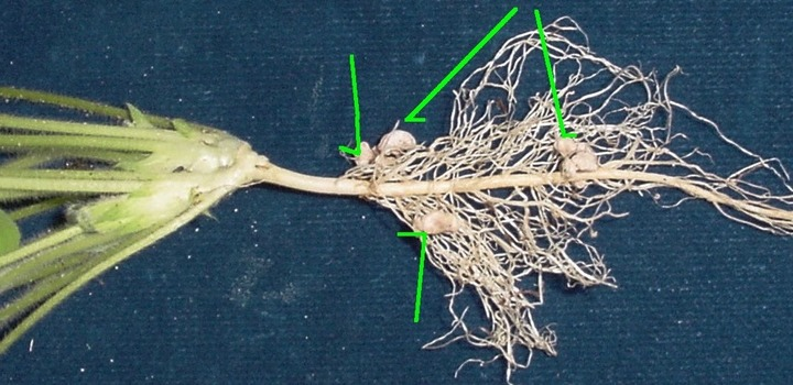 Clover root nodules