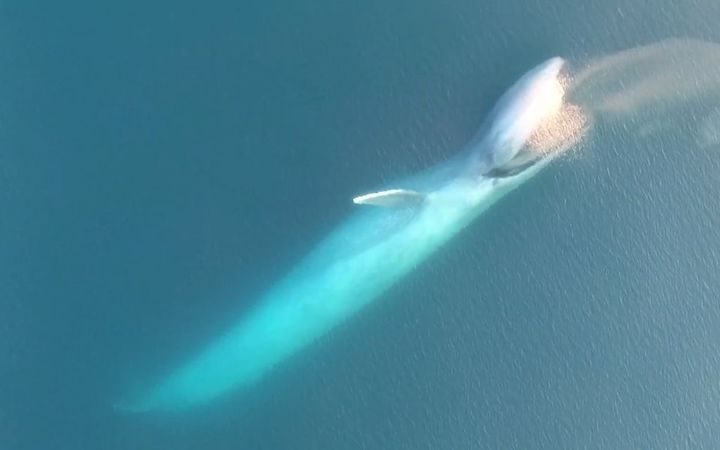 Footage Shows Blue Whale Gulping Down Massive Krill Patch