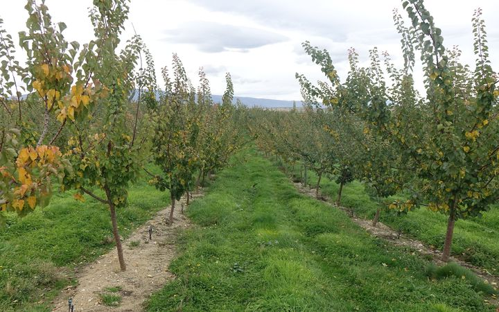 Cherry trees in orchard with grass strip between