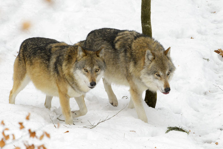 The emergence of wolves in Denmark has become a cause for concern for farmers and animal breeders.