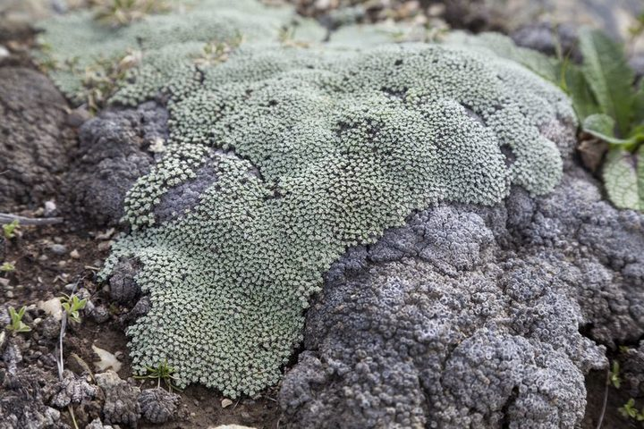 Australian biosecurity destroyed a collection of New Zealand lichen specimens destined for the Australian National Herbarium in Canberra.