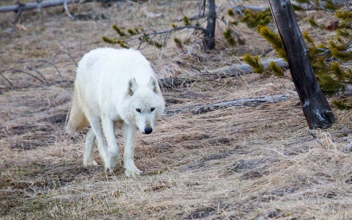 The rare white wolf that died after being shot at Yellowstone National Park.