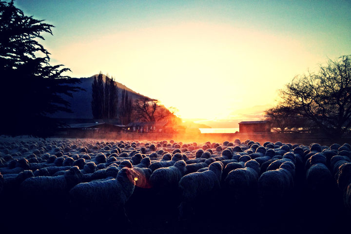 On Mt Nicholas Station, the shearing gang rises early to shear 200 sheep a day