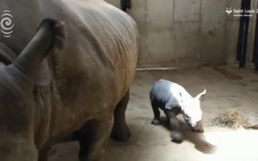 Rare black rhino born at US zoo: RNZ Checkpoint