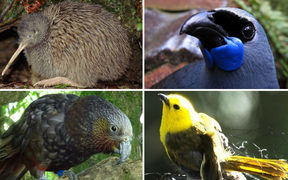 Endemic birds in New Zealand are in serious trouble including kiwi, clockwise from top left, kōkako, mōhua and kākā.