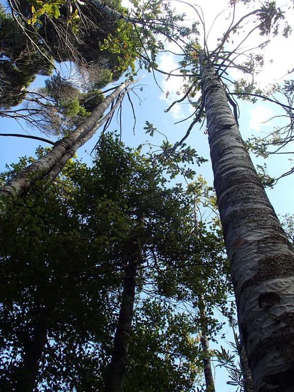 Dead and dying kauri trees
