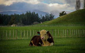 One of the Hereford bulls with the Ruahine Ranges in the background.