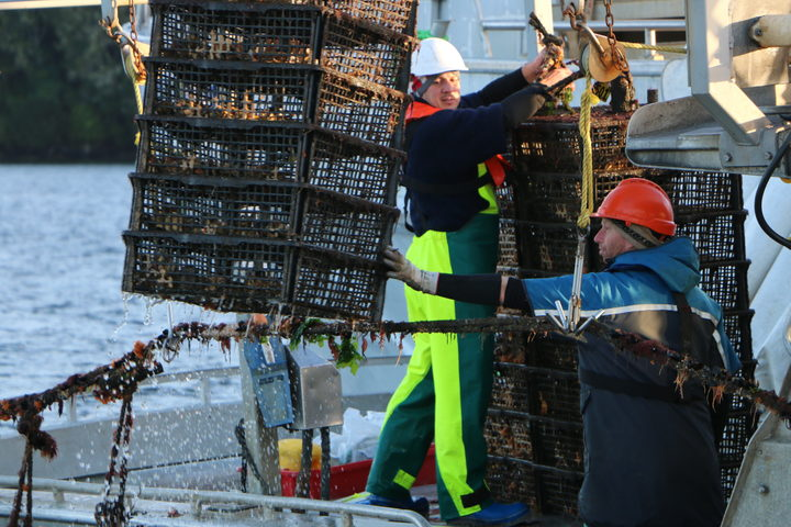 Oyster cages being pulled.